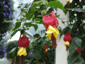Chinese Lanterns Trailing Abutilon megapotamicum