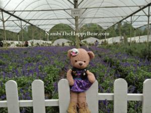 mona lavender farm genting