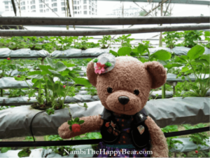 pick strawberry genting leisure farms