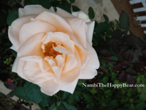 cream colour rose appreciation meaning
